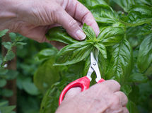 Snipping Basil. Close-up of a woman's hands snipping basil plant Royalty Free Stock Photo