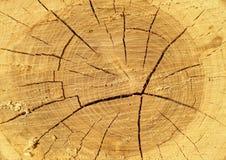 Snitt av ett träd med tillväxtcirklar, ålder av ett träd royaltyfri fotografi
