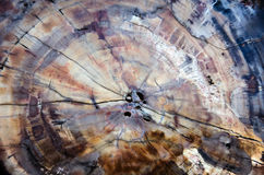 Snitt av fossiliserat trä Arkivbild