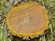 Snitt av korkträd 14 Arkivbild