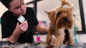 Snitt för hundhår på att ansa salongen Groomerklipphund med beskäraren stock video
