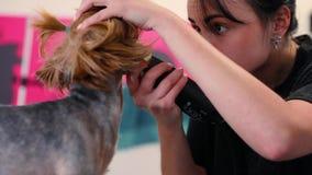 Snitt för hundhår på att ansa salongen Groomerklipphund med beskäraren arkivfilmer