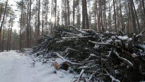 Snittet loggar och förgrena sig från en trädstam som ligger i skogen som täckas delvist i snö arkivfilmer