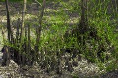 Snittet och den brända bambu Bambu hade mörker brända den lämnade trädstubben och några små gräsplansidor Royaltyfri Foto