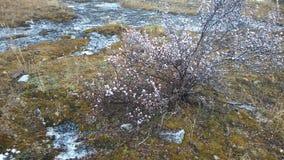 Sniw del arbusto del musgo de la montaña del túnel de Banff Foto de archivo libre de regalías