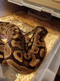 Snke fire mrph racks ball python stock photography