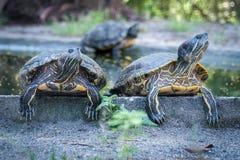 Snobbiga sköldpaddor Arkivbild