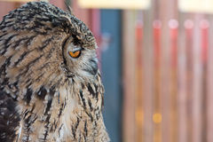 Snobby Owl Royalty Free Stock Photo
