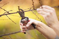 Snoeiend fruitboom - het Snijden vertakt zich bij de lente royalty-vrije stock foto