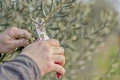 Snoeiende olijfboomtakken Stock Foto's