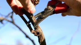 Snoeiende wijnstokken stock videobeelden