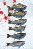 Snoekbaarzen in de Sneeuw Stock Fotografie