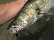 Snoekbaarzen die op meer vissen Stock Afbeelding