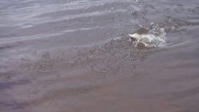 Snoeken op een haak door een visser wordt gevangen die stock video