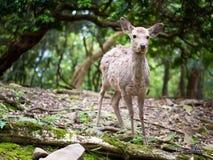 Snoepje Weinig Hertenjong geitje Fawn Looking aan de Kant met Zonneschijn in het bos met groene achtergrond stock afbeeldingen