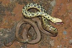 Snok - Natrixnatrix Arkivfoto