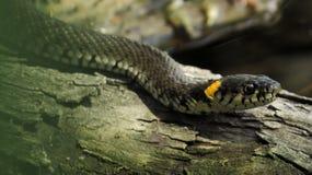 Snok på en inloggning vattnet Snok Vattenorm reptil reptilian Arkivfoto