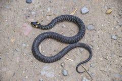 Snok som kryper fram jordningen white för orm för bakgrundsillustration non giftig fri Arkivbild