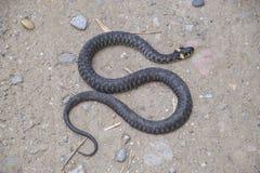 Snok som kryper fram jordningen white för orm för bakgrundsillustration non giftig Skrämt av snoken Arkivbilder