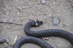 Snok som kryper fram jordningen white för orm för bakgrundsillustration non giftig Skrämt av snoken Arkivfoton