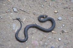 Snok som kryper fram jordningen white för orm för bakgrundsillustration non giftig Skrämt av snoken Royaltyfri Foto