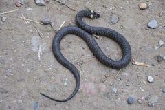 Snok som kryper fram jordningen white för orm för bakgrundsillustration non giftig Skrämt av snoken Fotografering för Bildbyråer