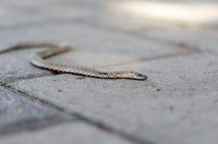 Snokkrypning på en tegelstentegelplatta white för orm för bakgrundsillustration non giftig snoken Royaltyfria Foton