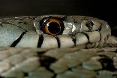 SnokNatrixnatrix, öga, halsband royaltyfri fotografi