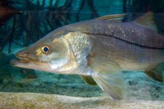 Snook royalty free stock image