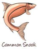 Snook commun, illustration de couleur illustration de vecteur