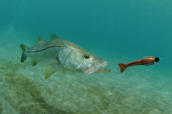 Snook fish chasing lure in ocean. Snook fish swimming after lure in the ocean Royalty Free Stock Photos