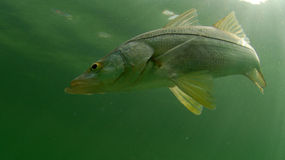 Snook fish swimming in ocean Stock Image