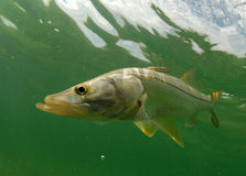 Snook fish underwater Royalty Free Stock Image