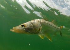 Snook vissen onderwater royalty-vrije stock afbeelding