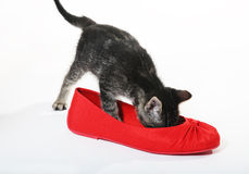 Snoop in Slipper Royalty Free Stock Images