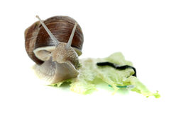 Snoopy snail Royalty Free Stock Photos