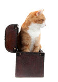 Snoopy tomcat in treasure chest Royalty Free Stock Photo