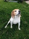 Snooty Beagle. With nose in the air unwilling and unbudging Royalty Free Stock Photography