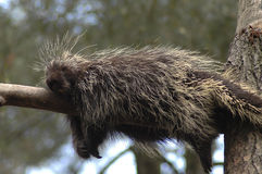 Snooze. A porcupine fast asleep on a tree branch royalty free stock photos