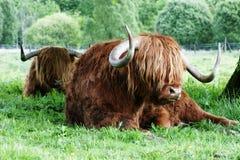 Snooze del bestiame dell'altopiano Immagini Stock Libere da Diritti