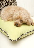 Snooze Time. A poodle takes nap on a light green and zebra print pillow Stock Images