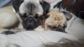 Snoozey mops Royaltyfri Foto