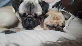 Snoozey Pugs Royalty Free Stock Photo