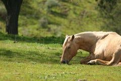 Snoozing. Palomino horse taking a nap in green grass Royalty Free Stock Photos