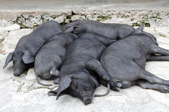 Snoozing Bunch of Black Iberian Pigs. This spanish breed is famous for its top quality meat Stock Images