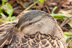 Snoozing Duck Royalty Free Stock Image