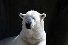 Snoozing Polar Bear. Laying in the sun at the Minnesota Zoo Stock Image