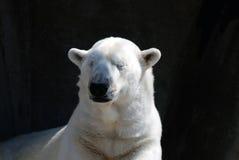 Snoozing Polar Bear Stock Image
