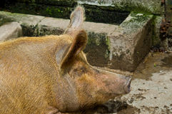 Snoozing porker. An image of an old fat filthy Ginger porker pig near its trough, asleep in the sunshine royalty free stock image