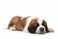 Snoozing Saint Bernard Puppy Royalty Free Stock Photo
